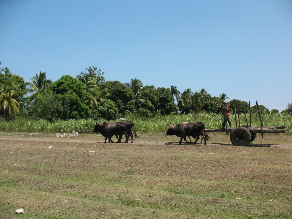 10-Ochsengespann mit lehrem Zuckerrohrwagen