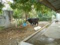 5-Mutterkuh bei altem Kuhstall